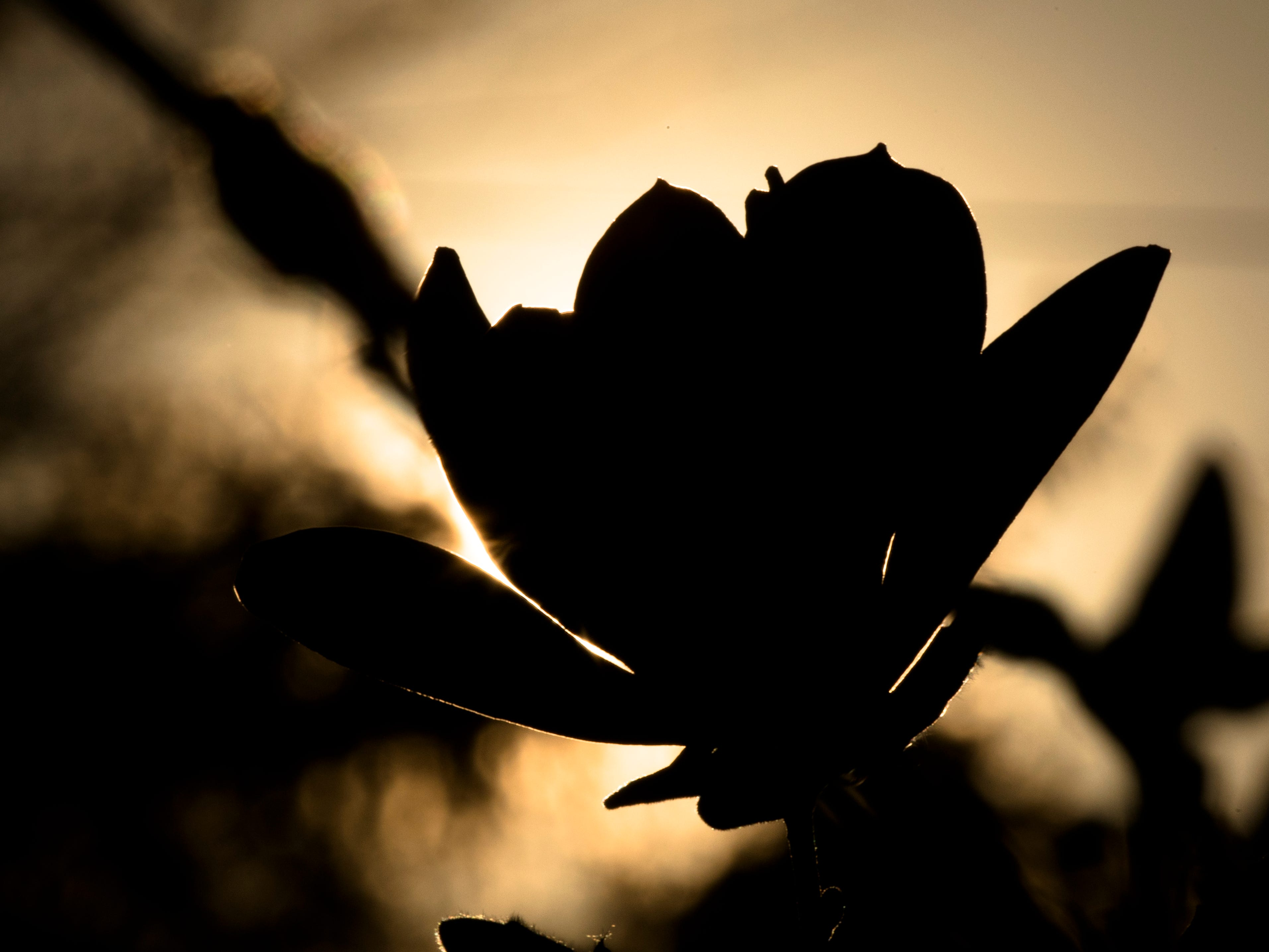 A magnolia flower at sunset in West Price Hill on Tuesday, April 9, 2019.