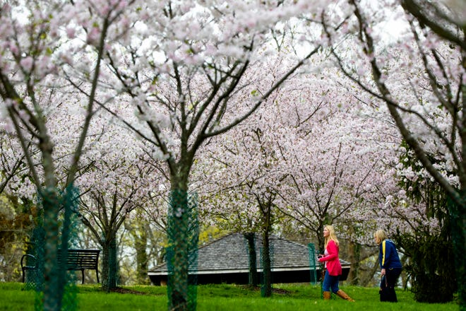 People walk through the Cherry Tree grove as they bloom at Ault Park in Hyde Park on Wednesday, April 10, 2019.