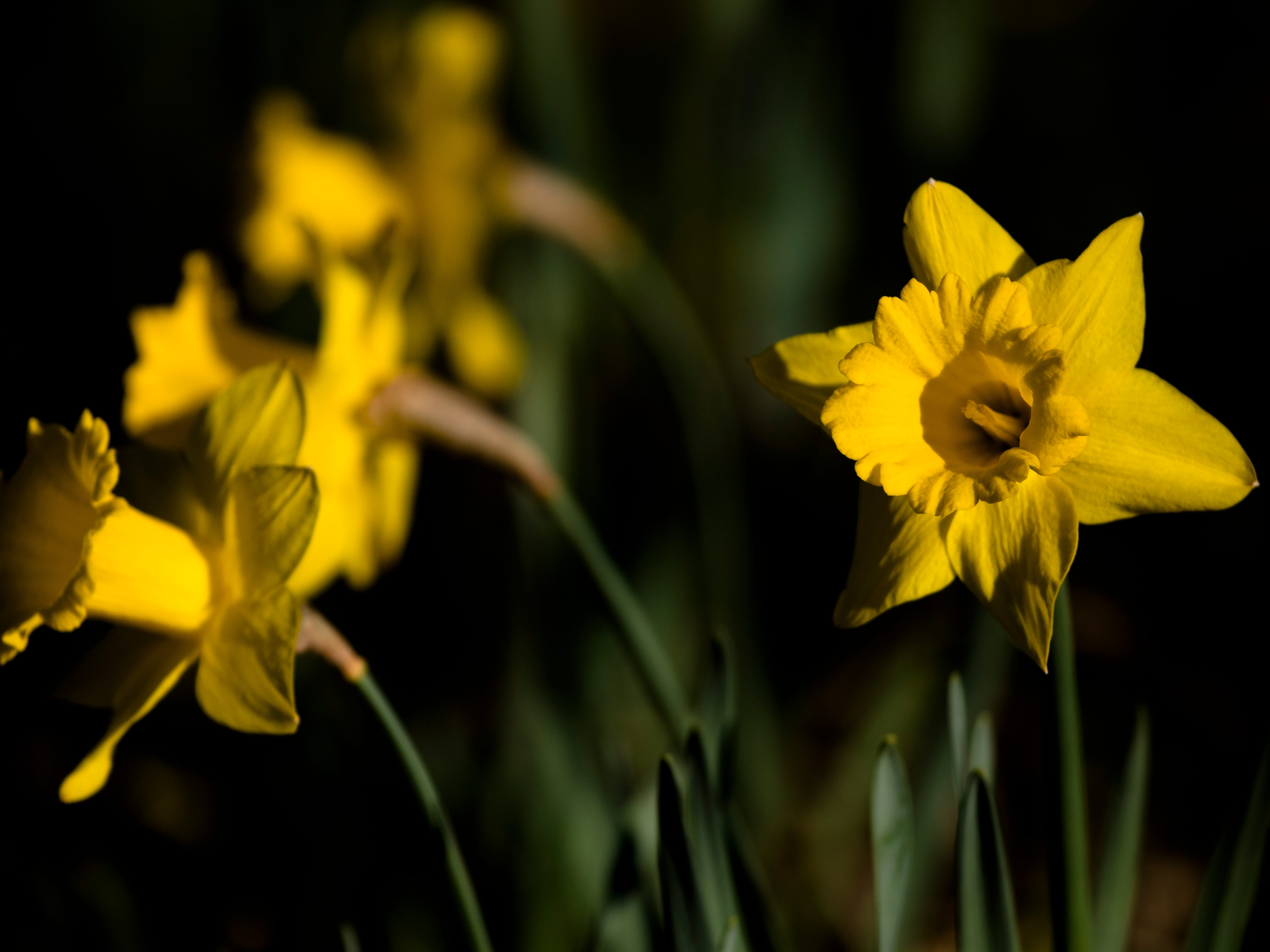 Daffodils bloom at Delhi Park in Delhi on Tuesday, April 9, 2019. Daffodil's contain poisonous sap, both for animals and other plants.