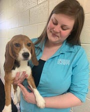 The three dozen beagles have arrived at the Michigan Humane Society.