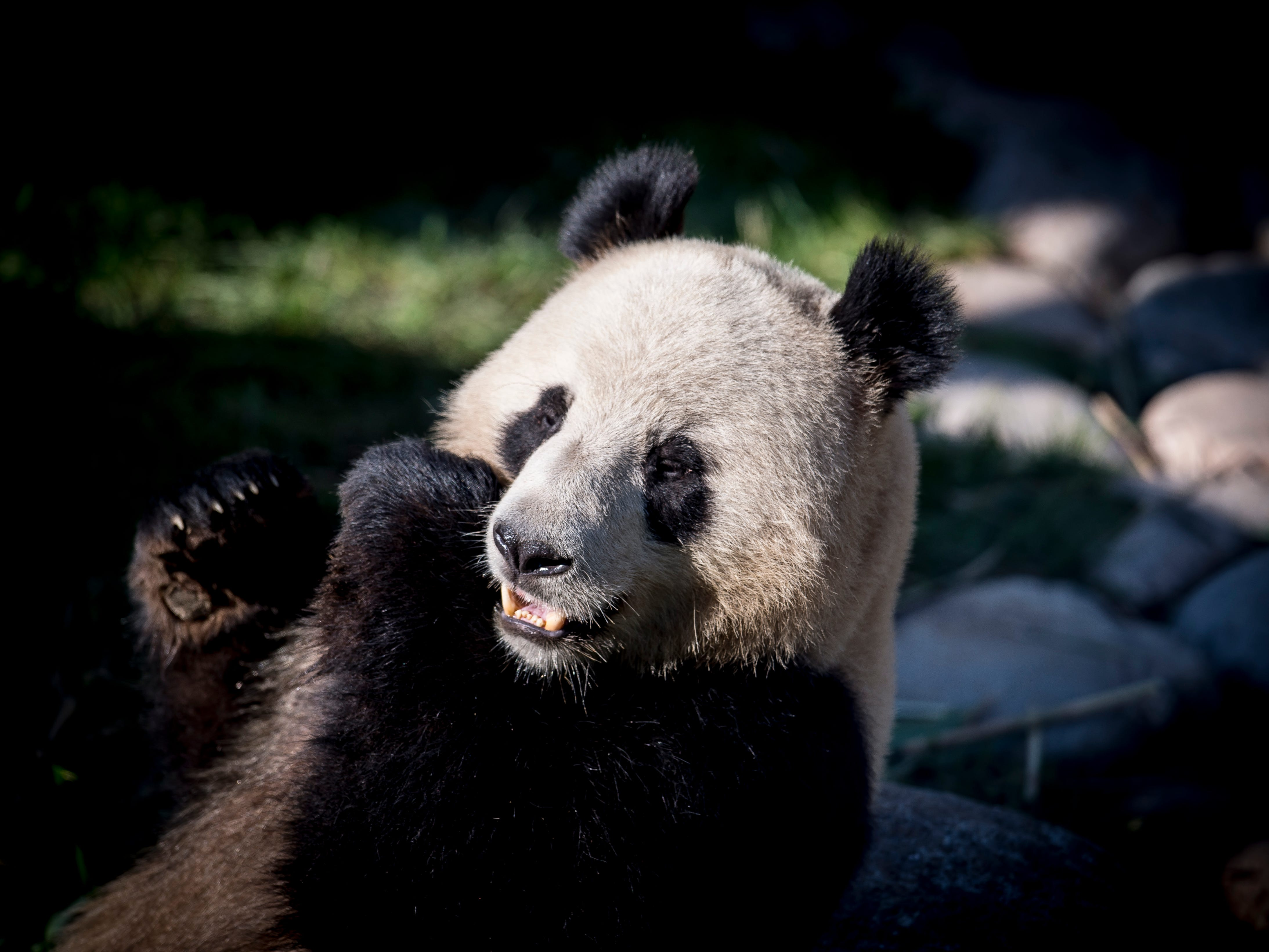 """This is the panda 'Xing Er' in the new enclosure in Copenhagen Zoo, Wednesday, April 10, 2019. Denmark's Queen Margrethe opened a newly built, $24.2-million enclosure at Copenhagen's zoo for two freshly arrived occupants: a pair of black-and-white bears on loan from China as the Scandinavian nation becomes part of Beijing's so-called """"panda diplomacy."""""""