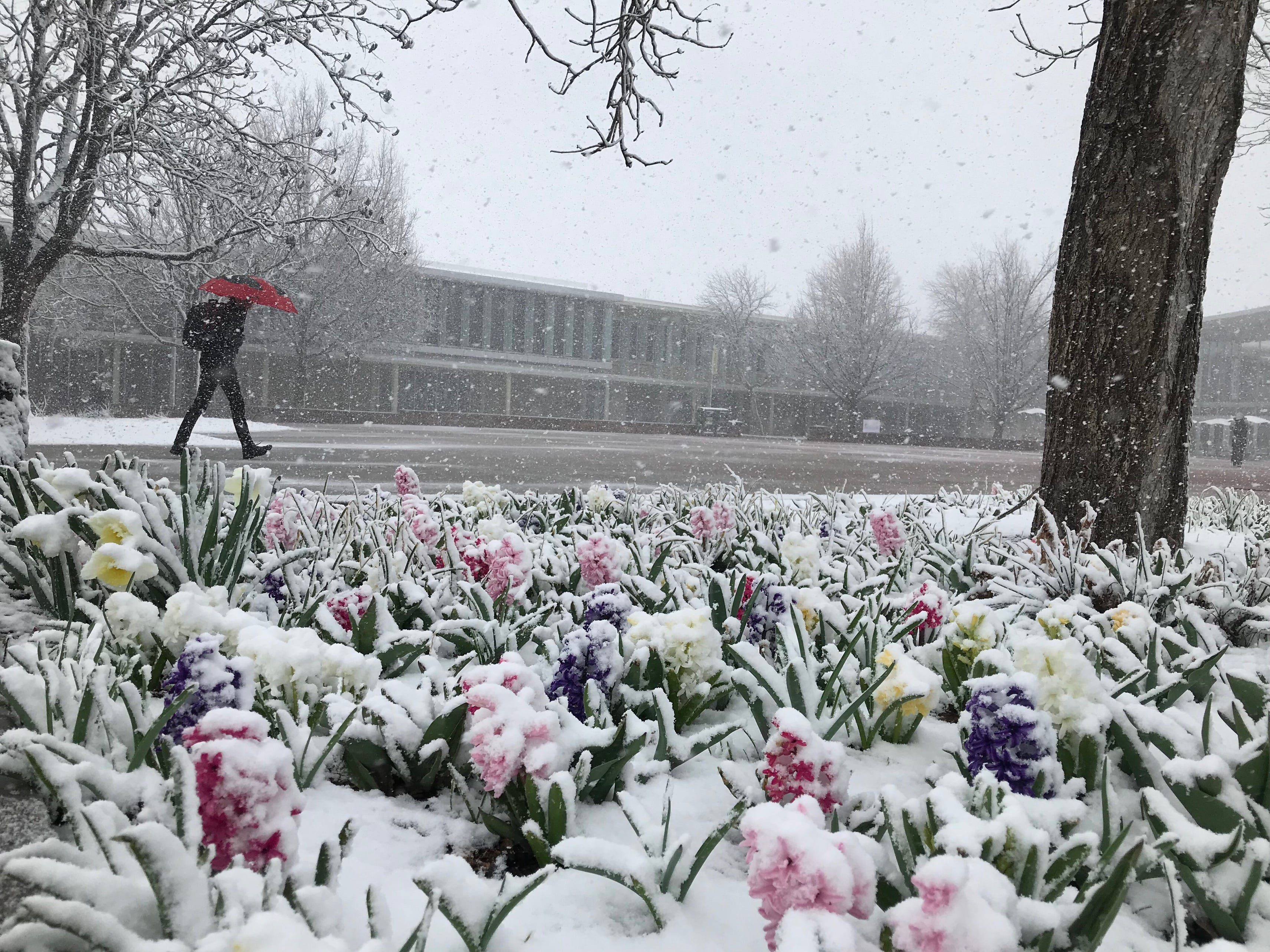 Spring flowers on the plaza at Lory Student Center are coated with snow on Wednesday, April 10 at Colorado State University.