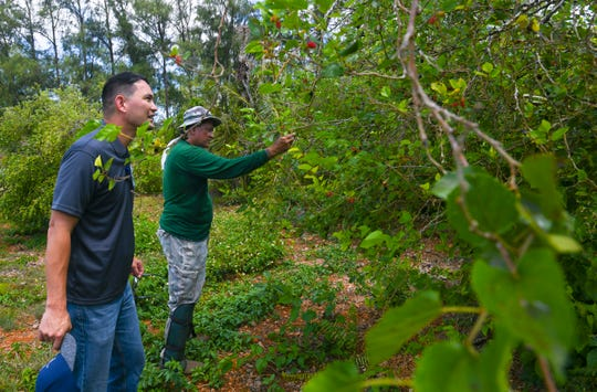 Agricultural lease holder Robert Celestial picks mulberries from one of the many trees he planted on a two-acre lot granted to him for use by the CHamoru Land Trust Commission as CLTC  Administrative Director Jack Hattig III, front, looks on during a compliance inspection visit on Wednesday, April 10, 2019.