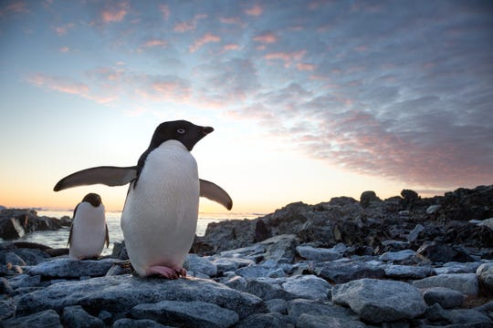 "A penguin named Steve battles the elements to find a new life and love in the Disney nature documentary ""Penguins."""