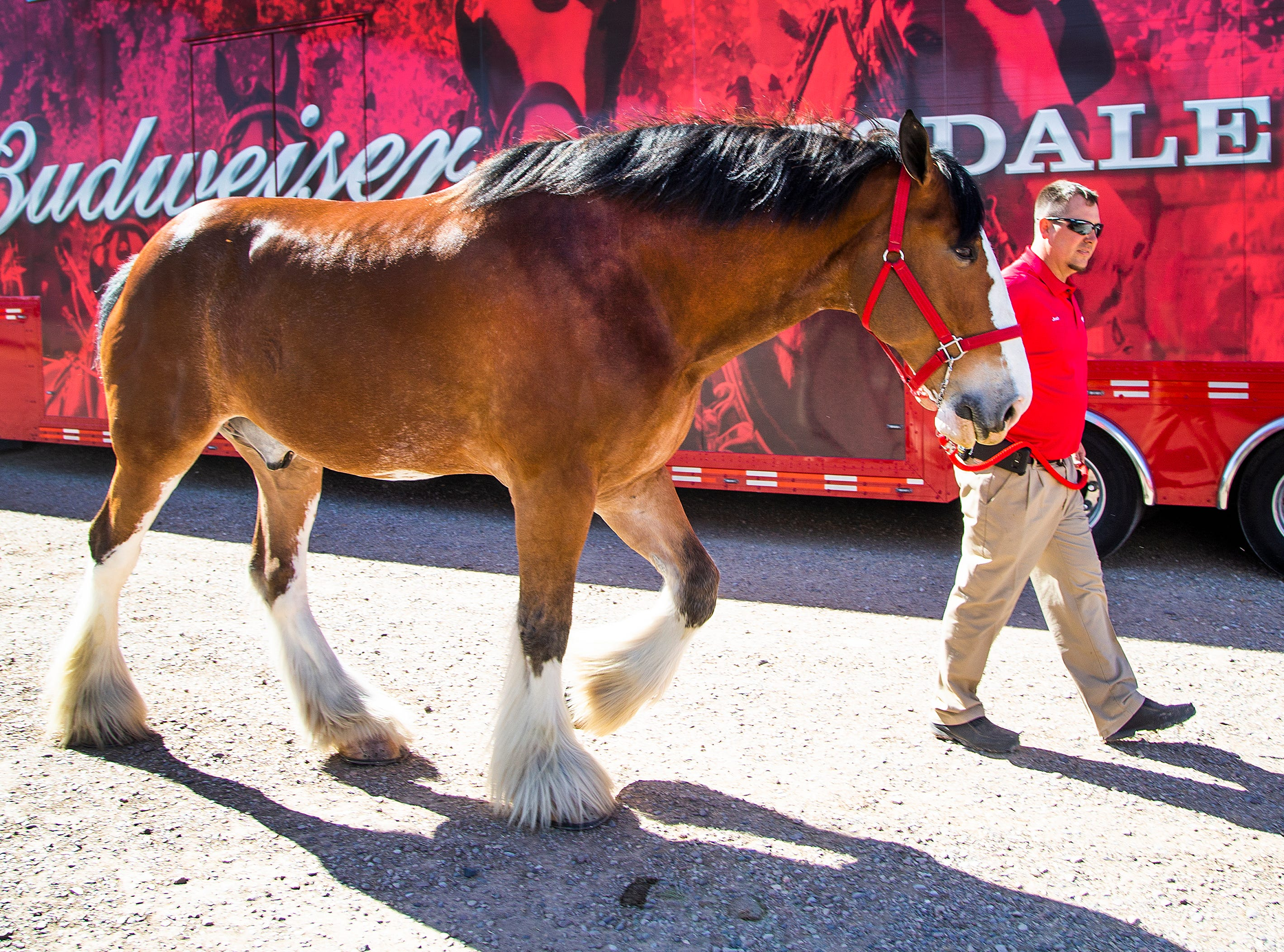 "Budweiser Clydesdale handler Josh Manternach takes ""Red,"" a 7-year-old gelding, to his stall at the Country Thunder Arizona 2019 music festival April 10, 2019. The famous horses will parade through the campgrounds at  2 pm April 11 and 12 noon on April 12, 13 and 14."
