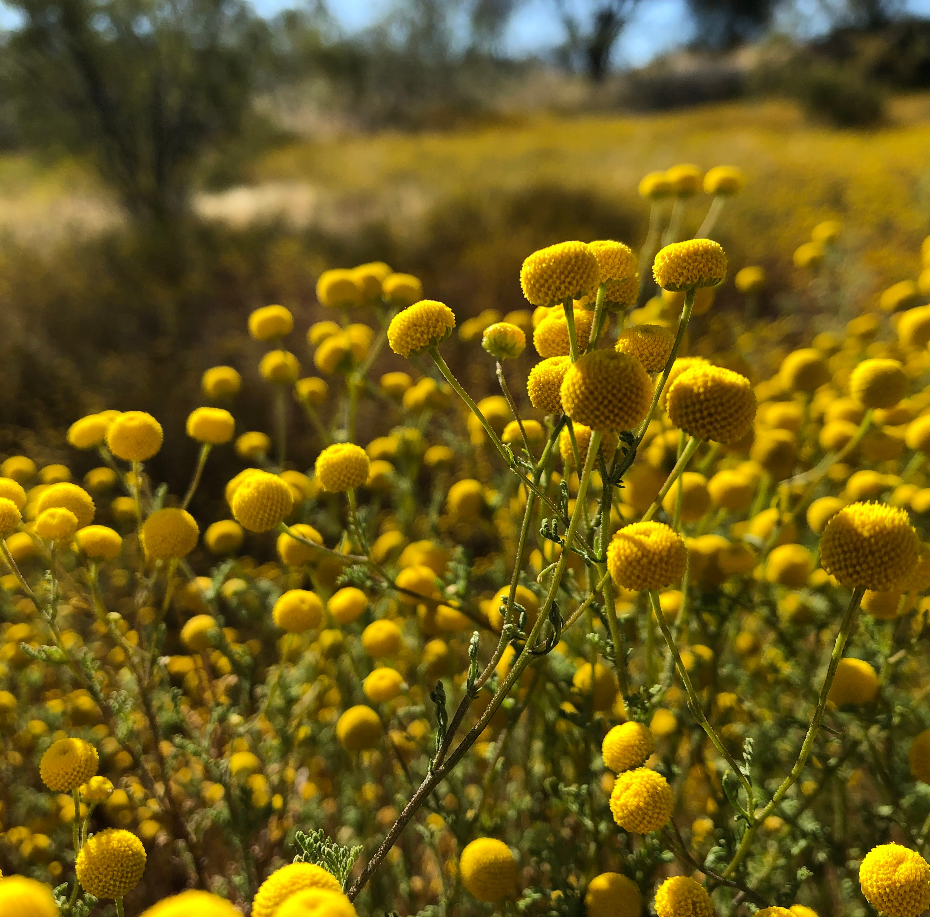 Instagram-friendly flowers are taking over the Phoenix area. One problem: They're invasive weeds