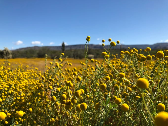 Globe chamomile, also called stinknet, has erupted across the Valley's mountainous outskirts. It's become popular with hikers and Instagrammers. But naturalists say it's an invasive weed that could cause serious damage.