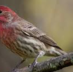 Get to know the monogamous House Finch