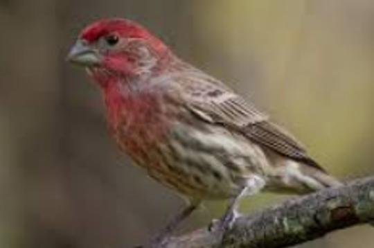 A male House Finch.