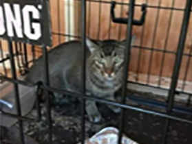 """Adam the cat's owners thought he was dead. His family was packed and ready to evacuate with him during the Carr Fire on July 26, but he escaped and ran back toward the house, vanishing.  A month later, Carr Fire Pet Rescue and Reunification caught Adam (left photo) and """"reunited him with his surprised and over-joyed owners,"""" Carr Fire Pet Rescue and Reunification spokesperson Ruth Cortright said. Right photo: Adam is safe at home with his owners."""