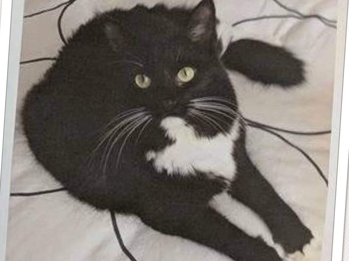 When Dixie Whitman evacuated to Cottonwood, her frightened cat Mr. Whiskers ran away. Volunteers from Carr Fire Pet Rescue and Reunification located him three months later. They trapped him and brought him home.