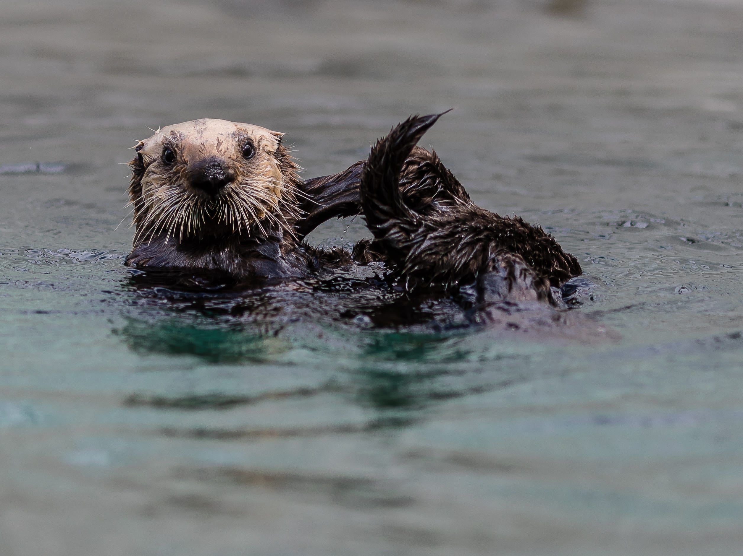 Langly the otter is rehabilitated.