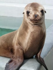 Whiteboard, an sea lion, in rehab at The Marine Mammal Center