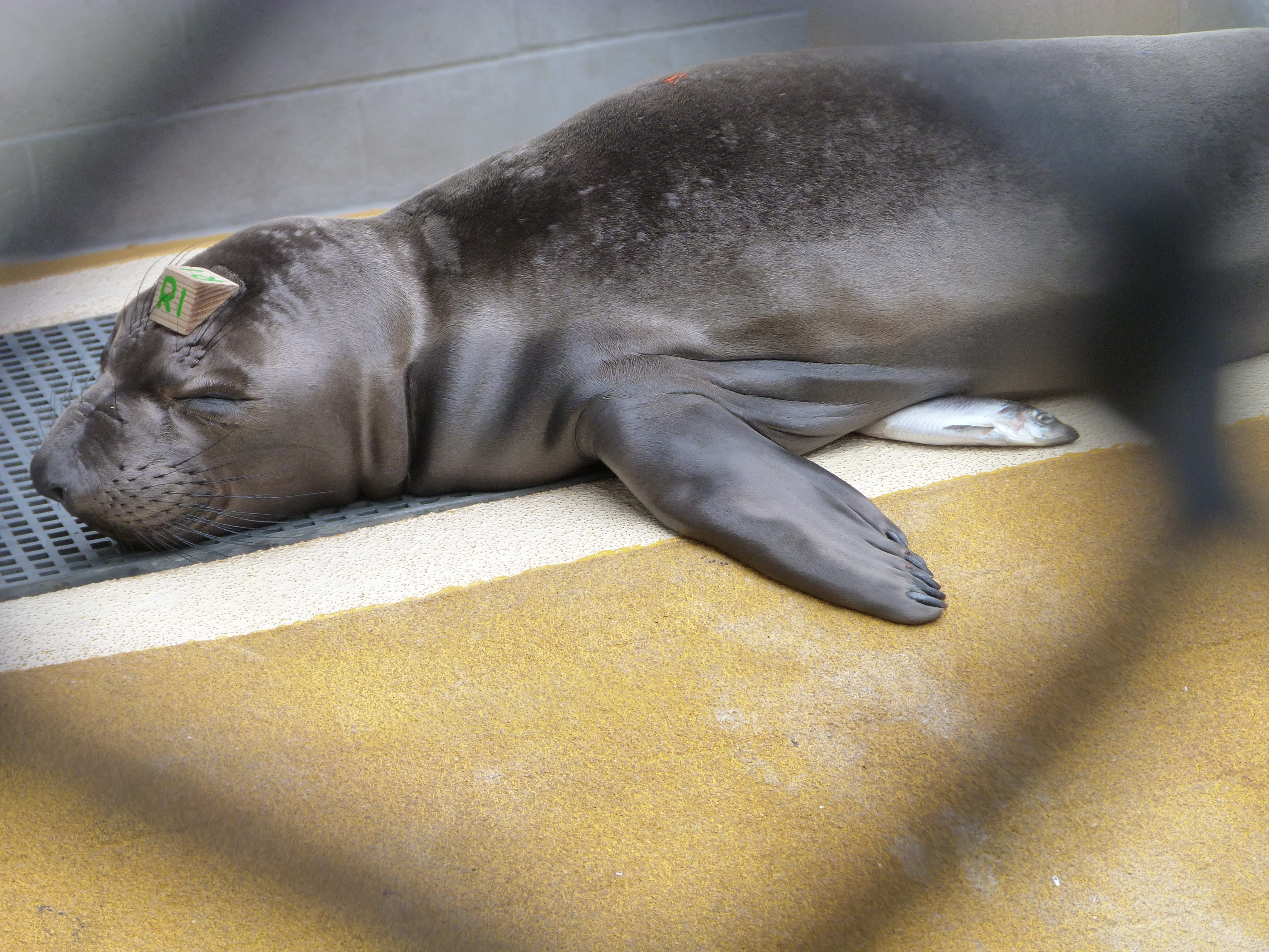 Cheesy, an elephant seal, takes a snooze in a pen at The Marine Mammal Center.