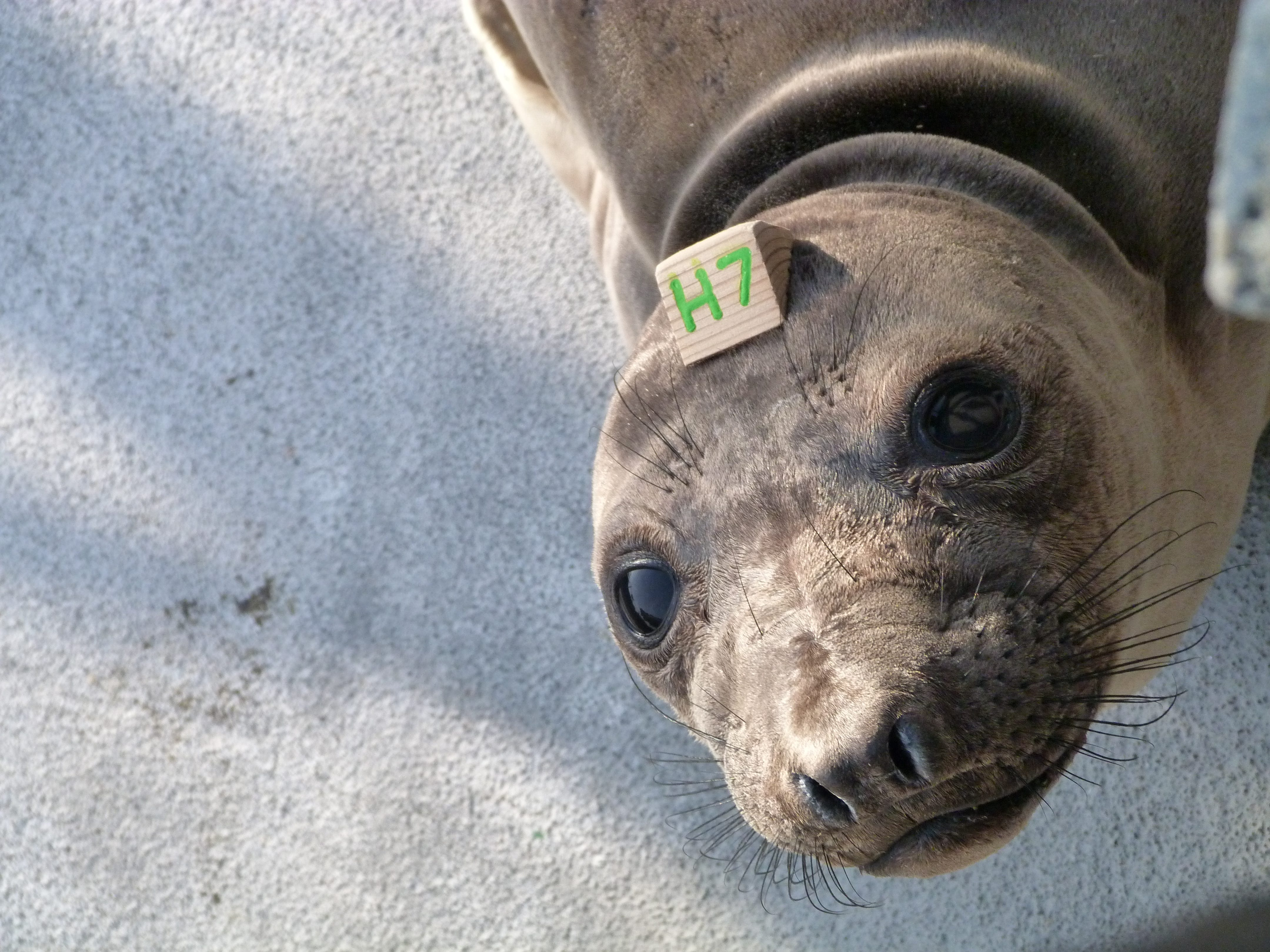 Arley the elephant seal looks up at the camera while in her pen at The Marine Mammal Center.