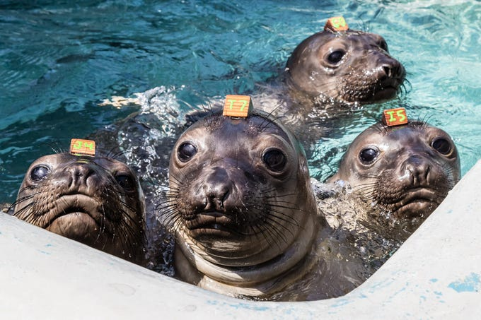 Bonnet, Galway, Heymag and Scallywag poke their heads out of the water to peer at the camera in The Marine Mammal Center.