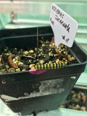 Master Gardener Jeanne Breland's milkweeds are doing a great job attracting monarch caterpillars.