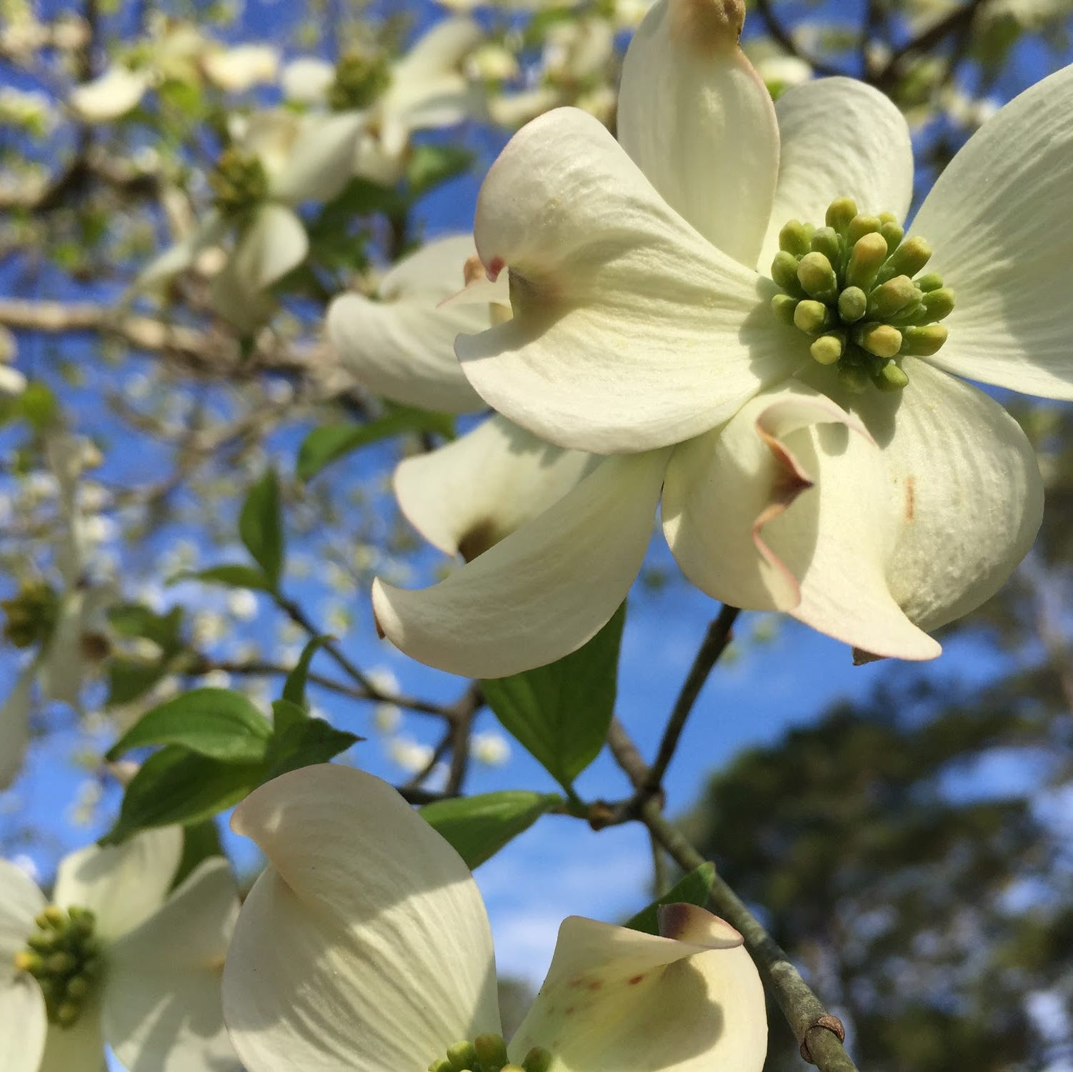 Flowering dogwood dreams can come true if the soil is right