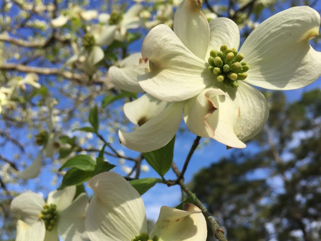 Dogwoods are one of our showiest spring flowering trees.