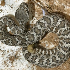 Tips on how to stay safe as rattlesnake numbers rise in springtime around Ventura County