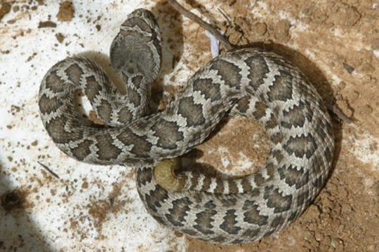 The Southern Pacific rattlesnake is the only type of rattlesnake that lives in Ventura County.