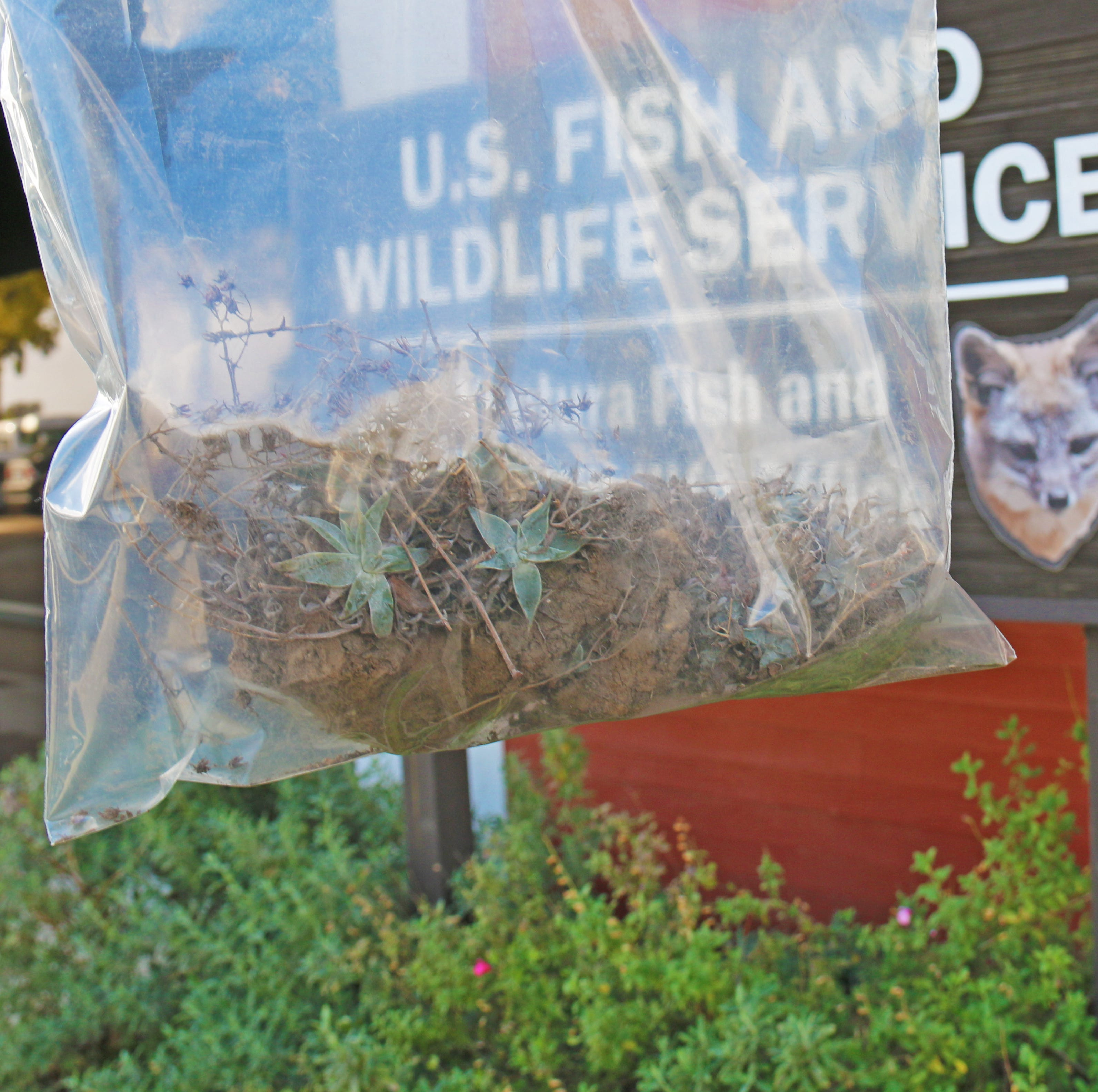 First a wildfire, then poachers. How a rare Ventura County plant has been nearly wiped out