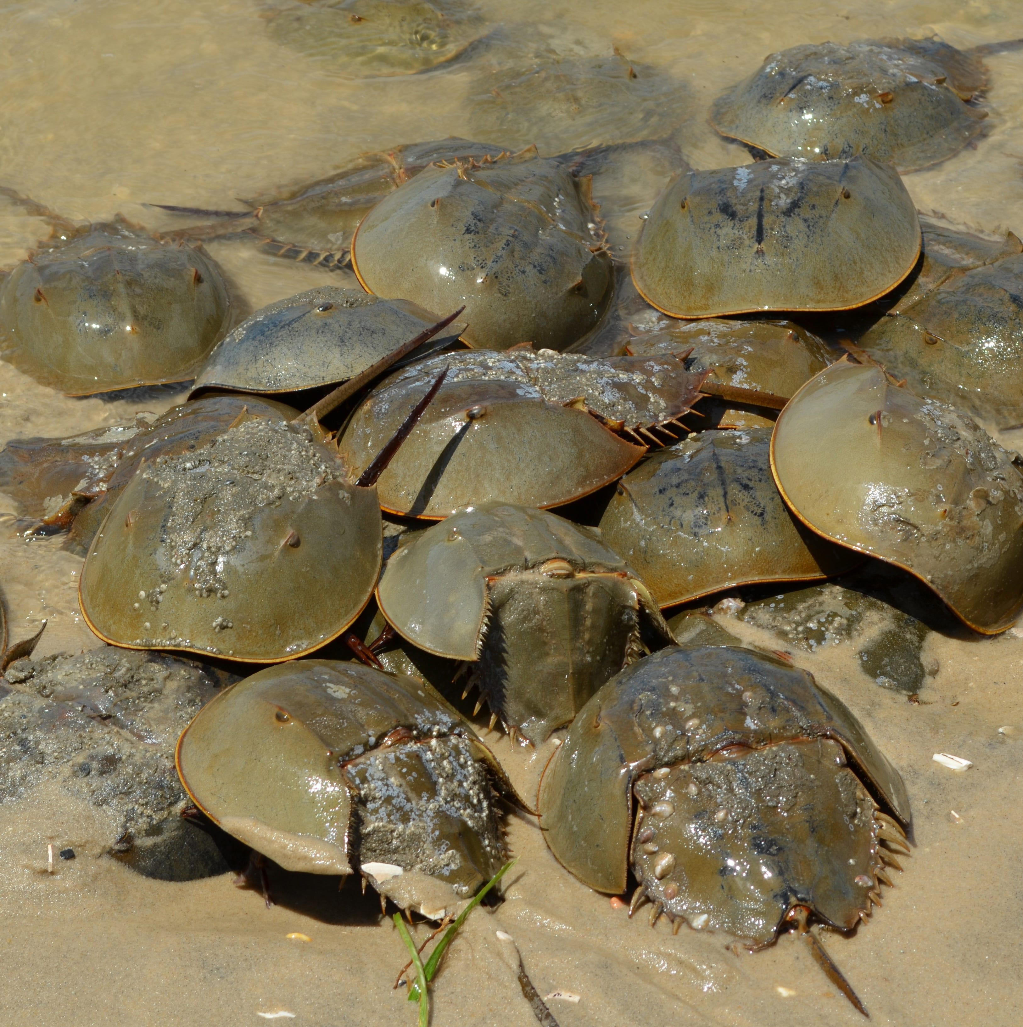 Neighbors briefs: Horseshoe crabs, studio tour, Easter egg hunt, book sale, fundraiser, music education