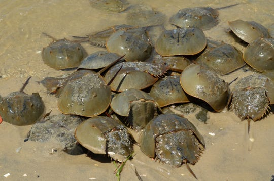 "CU Maurice River will offer ""Return the Favor"" training, to assist with the rescue of horseshoe crabs, from 9 a.m. to 1 p.m. April 13 at East Point Lighthouse at 10 Lighthouse Road in Heislerville."