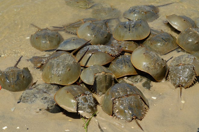 """CU Maurice River will offer """"Return the Favor"""" training, to assist with the rescue of horseshoe crabs,from 9 a.m. to 1 p.m. April 13 at East Point Lighthouse at 10 Lighthouse Road in Heislerville."""