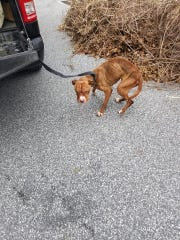 An emaciated female pit bull the Dover Police Animal Control Unit say was found April 2 in an abandoned residence