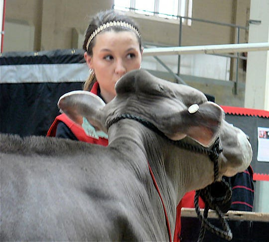 Jessica Pralle, Humbird, leads a Brown Swiss in the ring. Her home farm is also the home of the world record milk production cow.