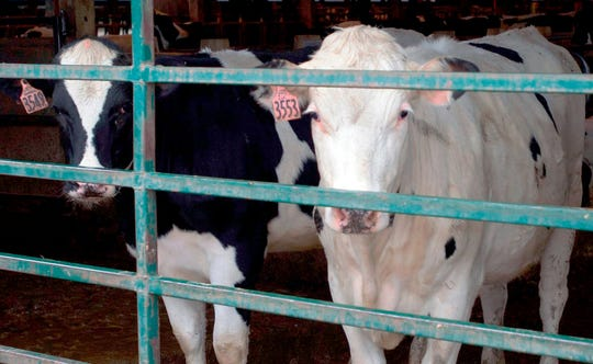 Roughly one out of 10 dairy farms in Minnesota has ceased operations.