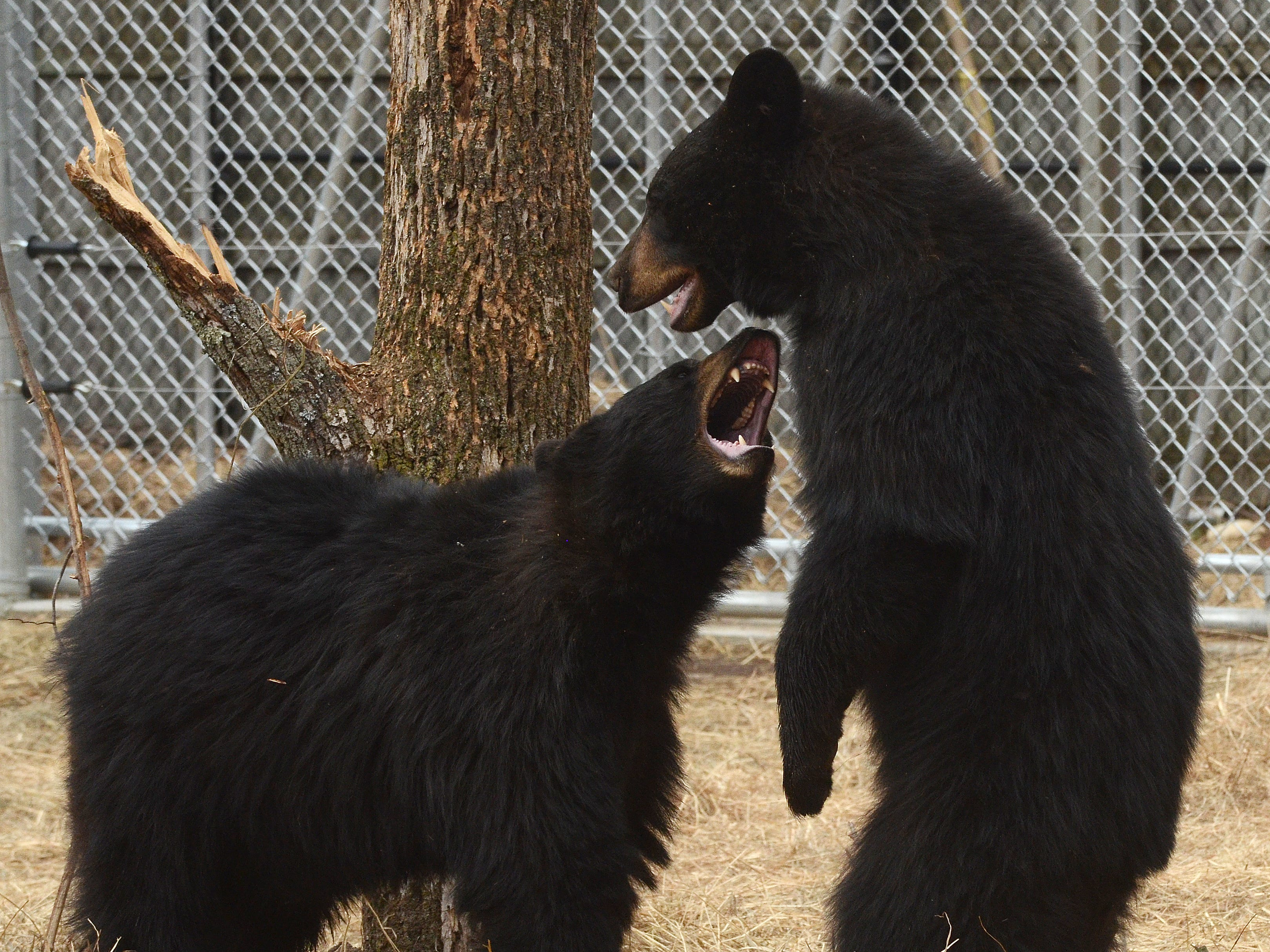 Two of Binder Park Zoo's black bears tussle in 2014.