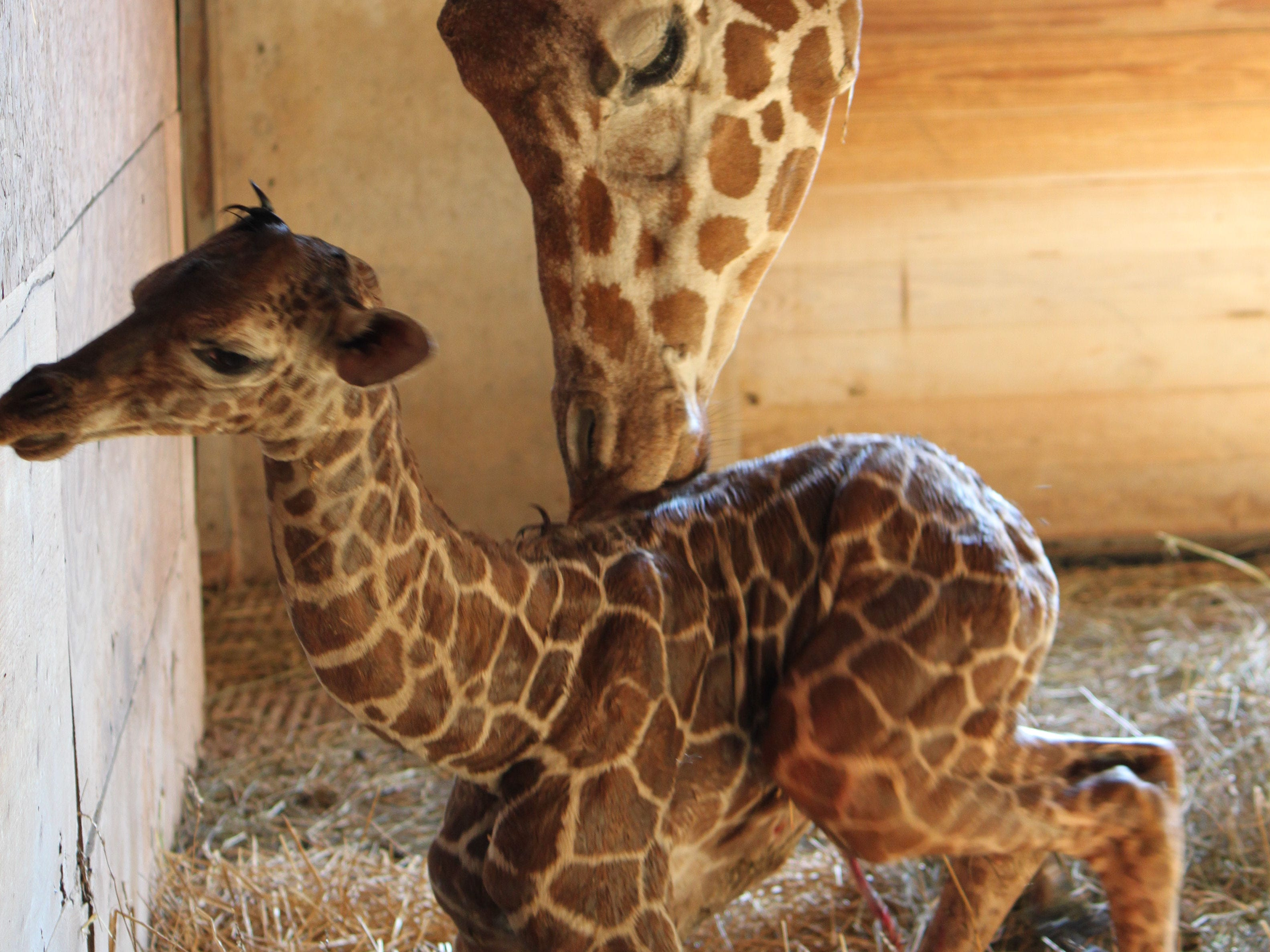 Mkia gets a nuzzle from her mother, Makena, after she was born at Binder Park Zoo in 2012.