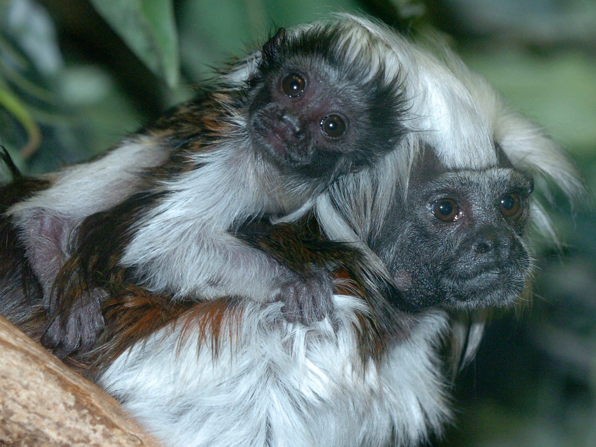 A baby cotton top tamarin and its mother in 2007.