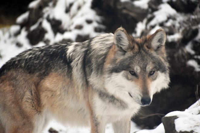Izzy, a female Mexican gray wolf now on  exhibit with her mate Flynn at Binder Park Zoo.
