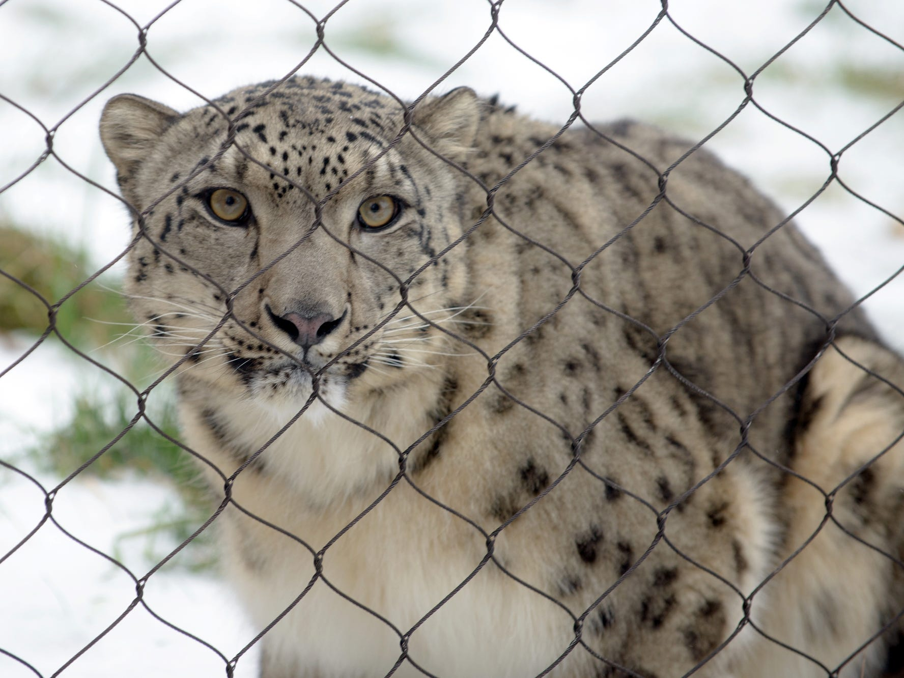 Raj, a snow leopard at Binder Park Zoo, in 2016.