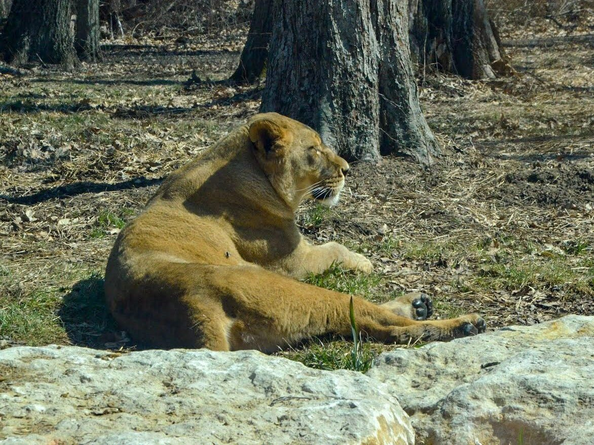 Shelby, one of Binder Park Zoo's female lions, in 2018.