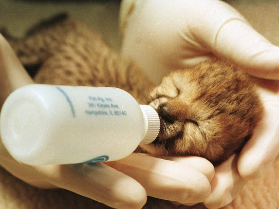 Zookeepers at Binder Park Zoo hand-feed a baby cheetah shortly after it was born through means of artificial insemination in 1997.