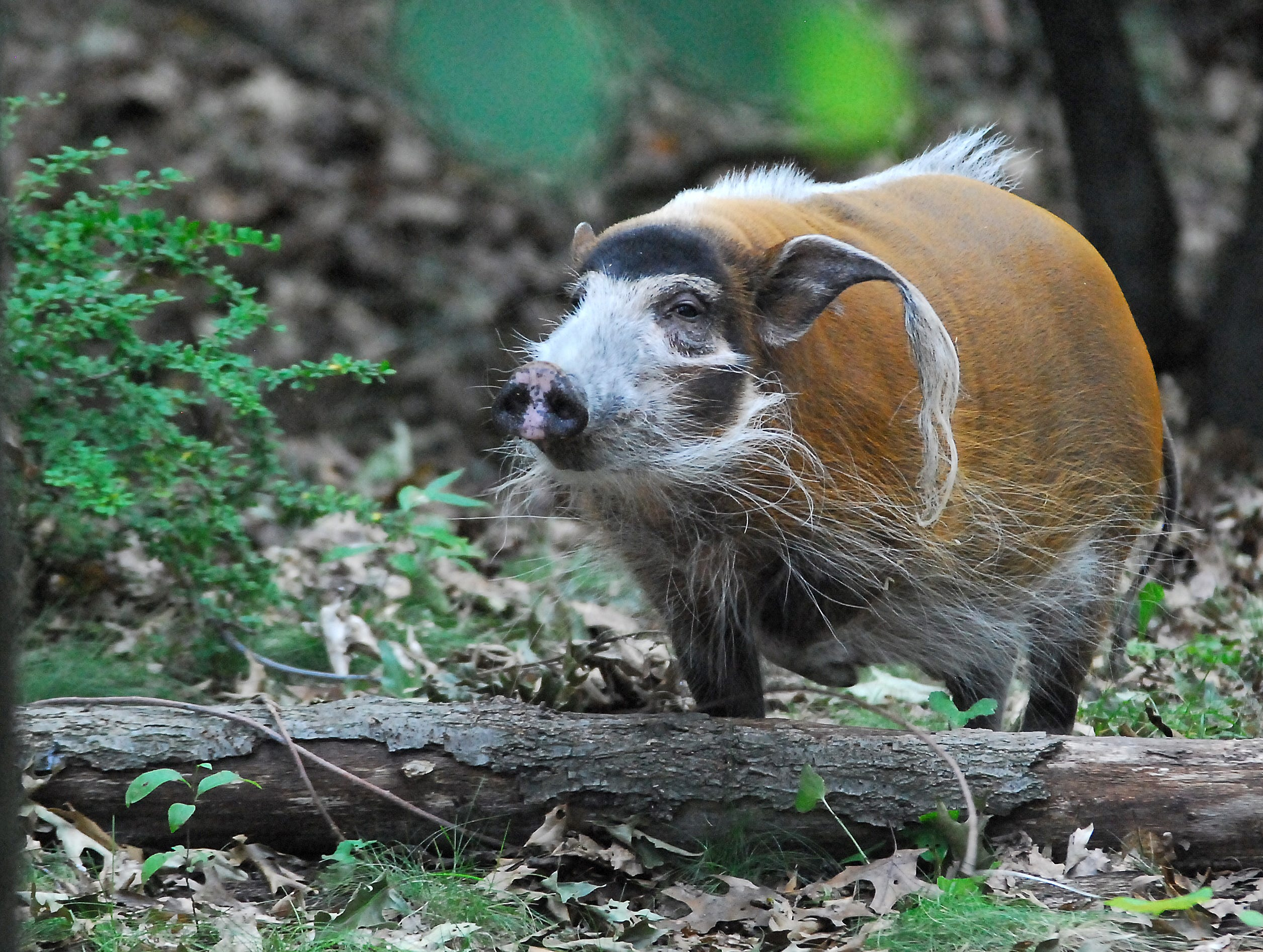 Squeaky, a female Red River Hog, sticks her snout in the air to check a scent at Binder Park Zoo in 2010.