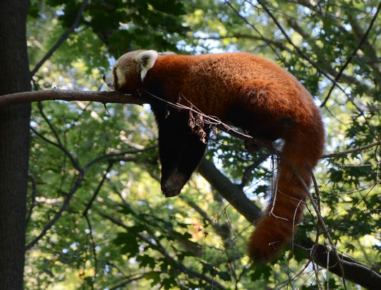 A red panda takes a nap on a high branch at Binder Park Zoo in 2014.