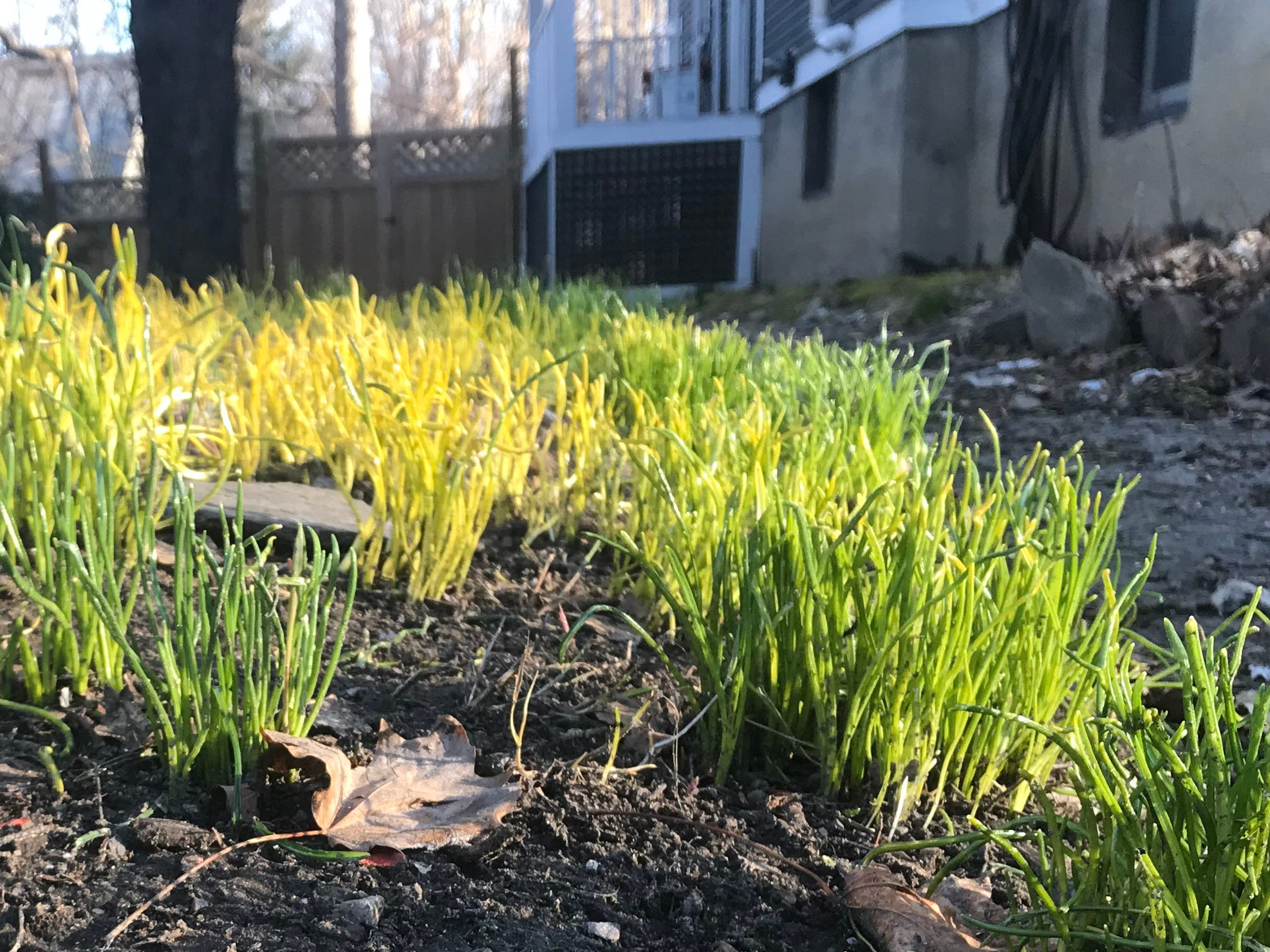 A patch of green shoots emerges in a south-facing garden on Adams Street in Burlington on Thursday, April 11, 2019.