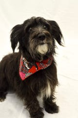Boone County Animal Shelter does stray dog makeovers to encourage  adoptions. Here is Black spiffed up for adoption.