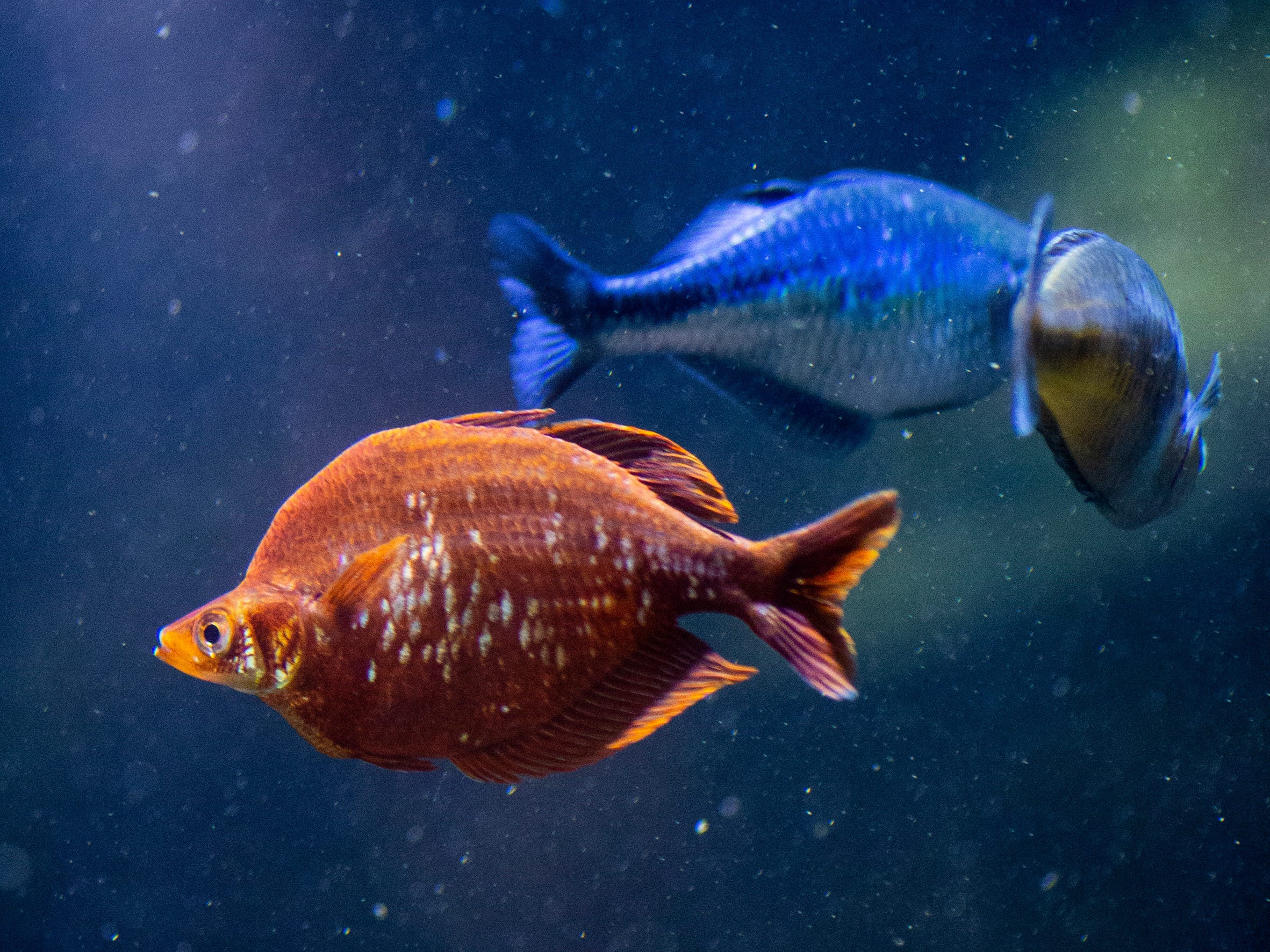 Red Rainbowfish and blue Lake Kamaka rainbowfish swim in the Australia tank in the Freshwater Falls exhibit at Newport Aquarium Thursday, April 11, 2019 in Newport, Ky.  There are 15 species of Rainbowfish in Australia.