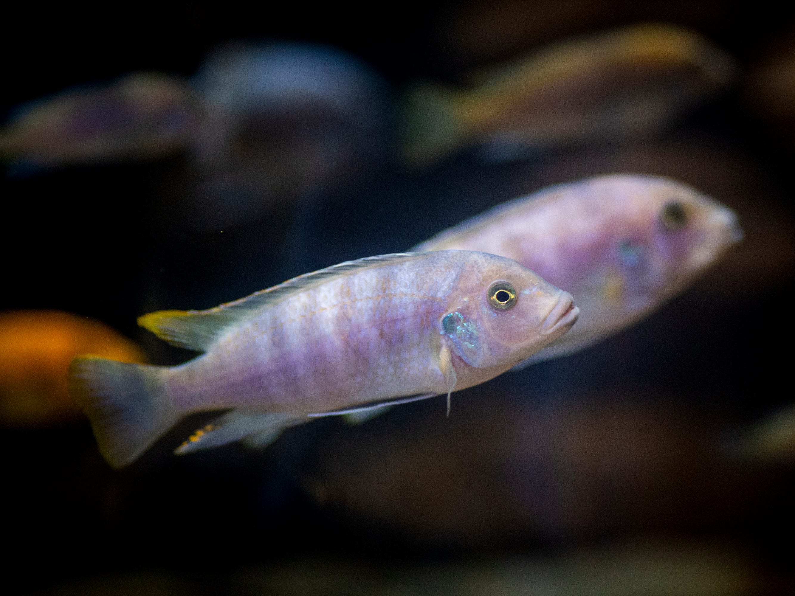 Lake Malawi cichlids swim in the Freshwater Falls exhibit at Newport Aquarium Thursday, April 11, 2019 in Newport, Ky.  Lake Malawi is famous for its vibrant color cichlids, and has the most fish species than any lake on Earth.