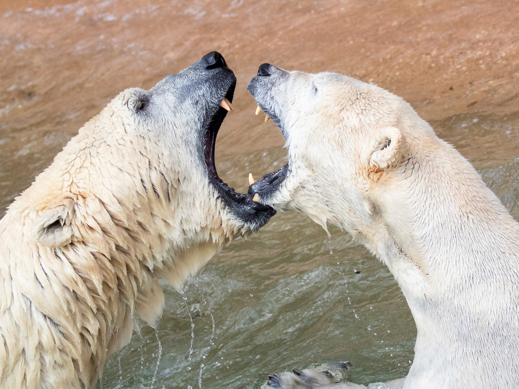 Polar bears Nanuq and Vera play in their enclosure at the 'Tierpark' zoo of Nuremberg, Germany, Thursday, April 11, 2019.