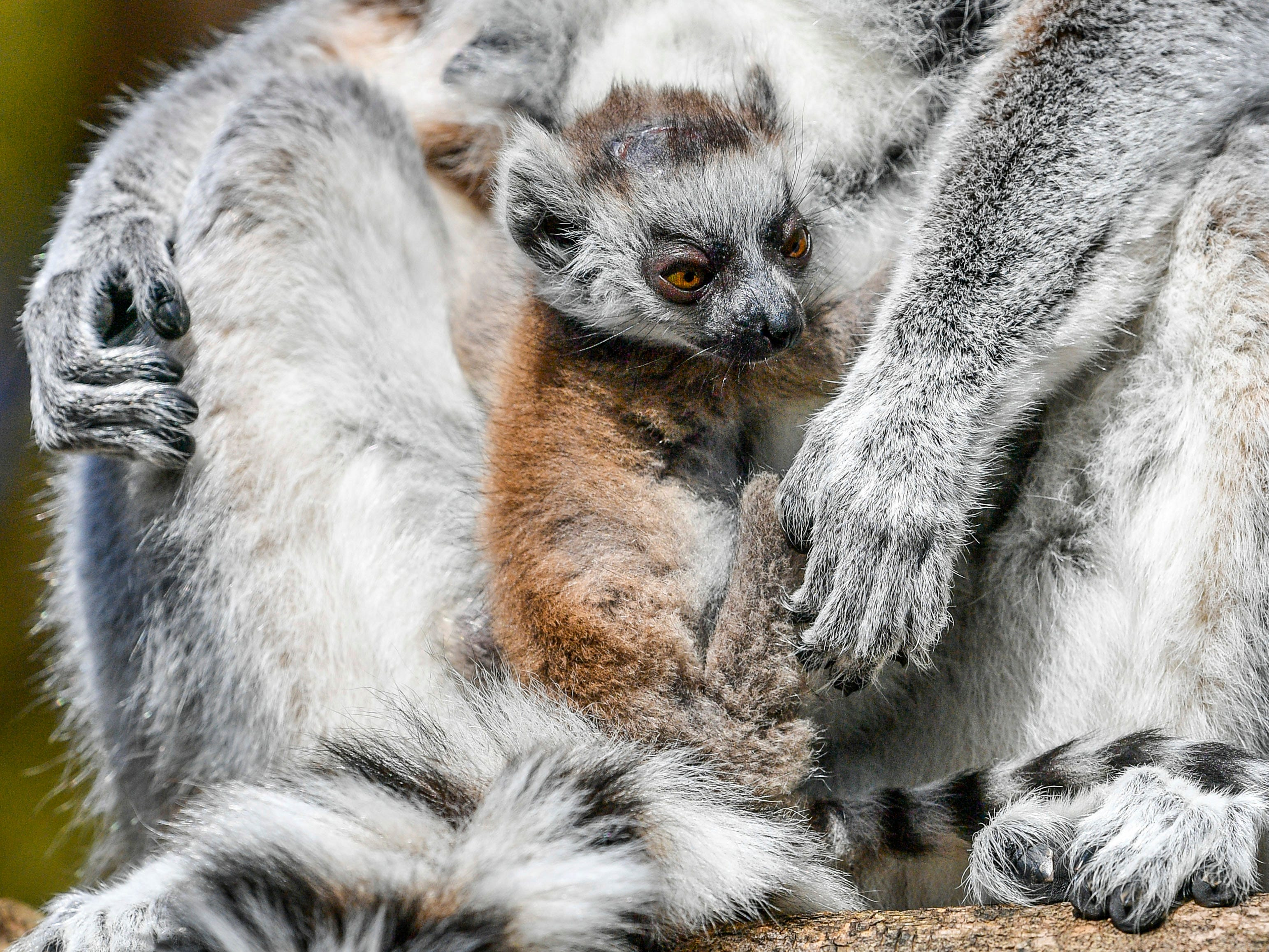 A baby ring-tailed lemur clings to mum, Mavis, as both her and twin sister Ethel have delivered a trio of babies between them for a third year running at Bristol Zoo Gardens, in Bristol, England, Thursday, April 11, 2019. The sisters have a history of synchronising their births since they brought babies into the world on the same night in 2017. In 2018, the eight-year-old siblings gave birth within just three days of each other and this year Mavis gave birth to a singleton on March 31 and Ethel gave birth to twins on Thursday 4 April.