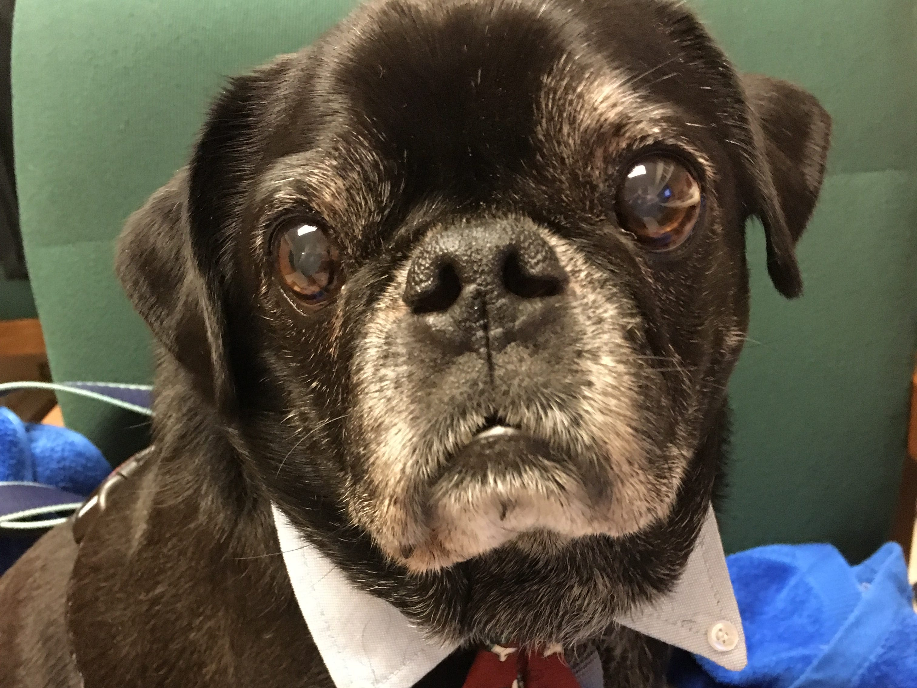 """Patricia Connell shared this photo of her pug Phineas at her office. """"This is how he dresses when he goes to work with me,"""" she wrote."""