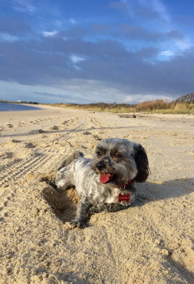 """Bernadette Kocis shared this photo of Pepper in Cape May, N.J. Naples is Pepper's second home, loves to travel on airplanes and warms the heart of everyone she's near, Kocis wrote. Pepper is 4 years old and a rescue with the """"sweetest disposition."""""""