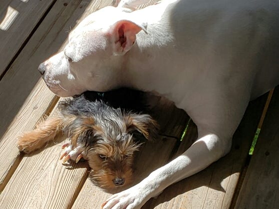 """Tina Grynkiewicz shared two photos of Miss Alice, a pit bull, who is a surrogate mom to Gracie Lynn. """"Their bond is beautiful to watch. Gracie really looks to Alice as a momma, and Alice loves treats, protects and teaches Gracie Lynn as one of her pup,"""" Tina wrote."""